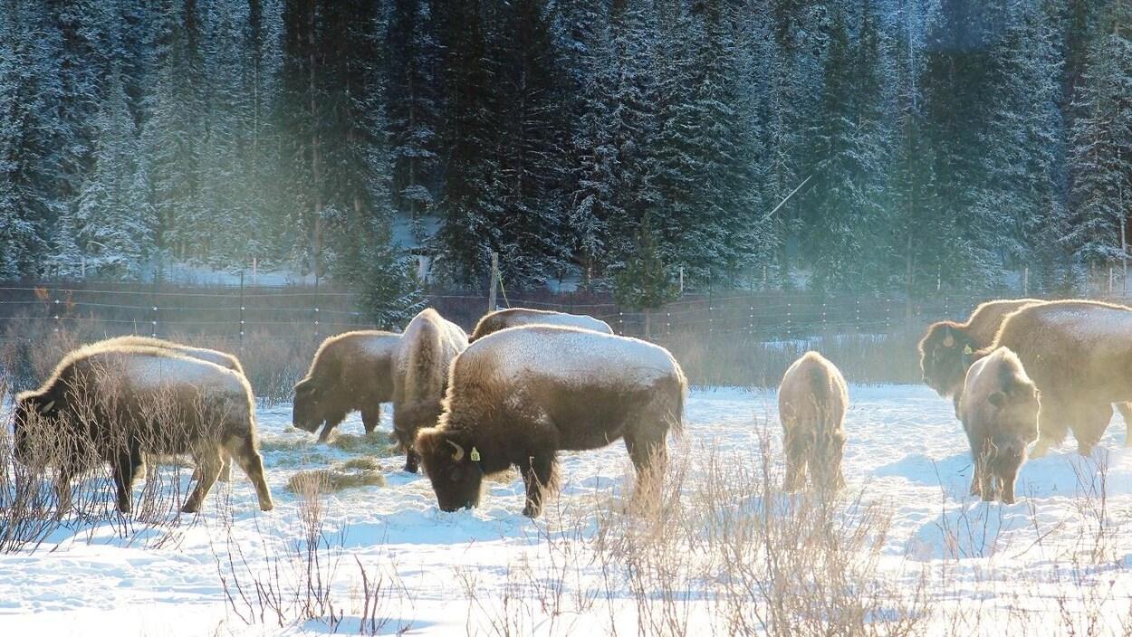 Des bisons broutent de la paille dans un paysage enneigé des Rocheuses.