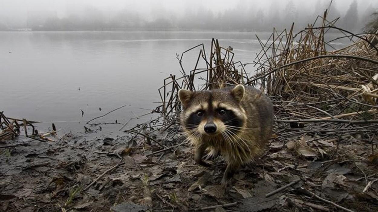 Un raton laveur fait face à l'objectif. Il est au bord de l'eau.
