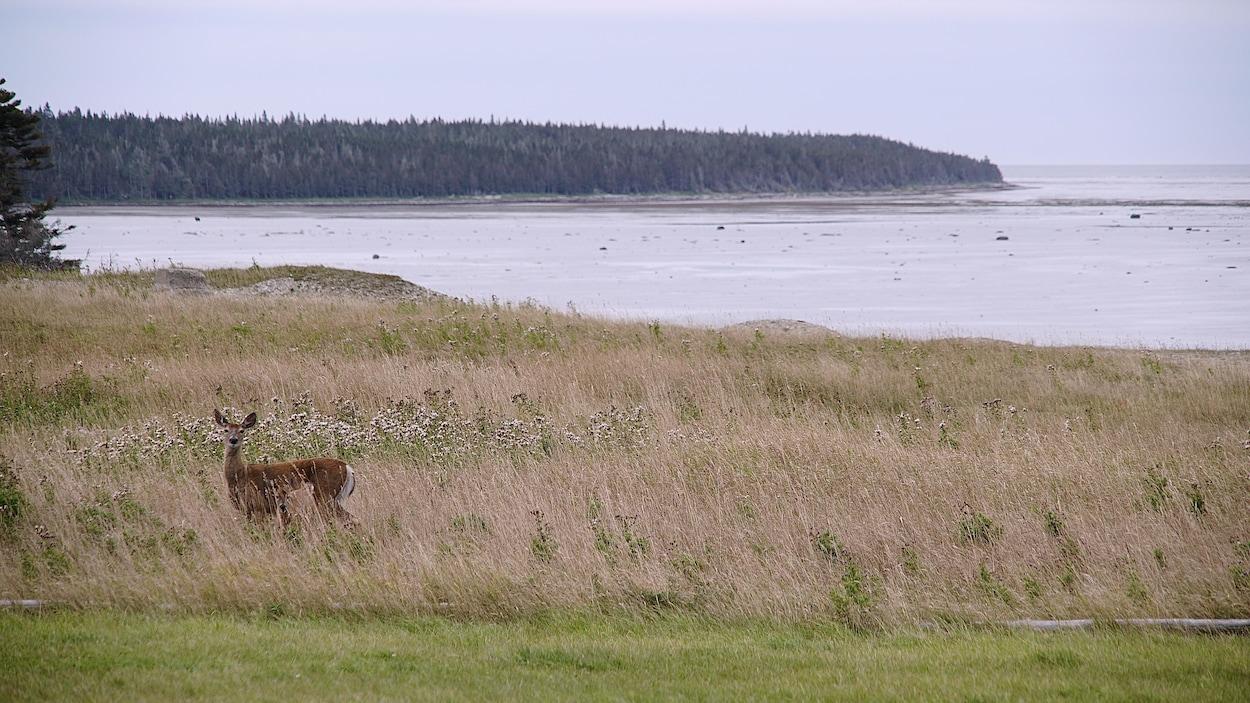 Un chevreuil dans un champ sur l'île d'Anticosti.