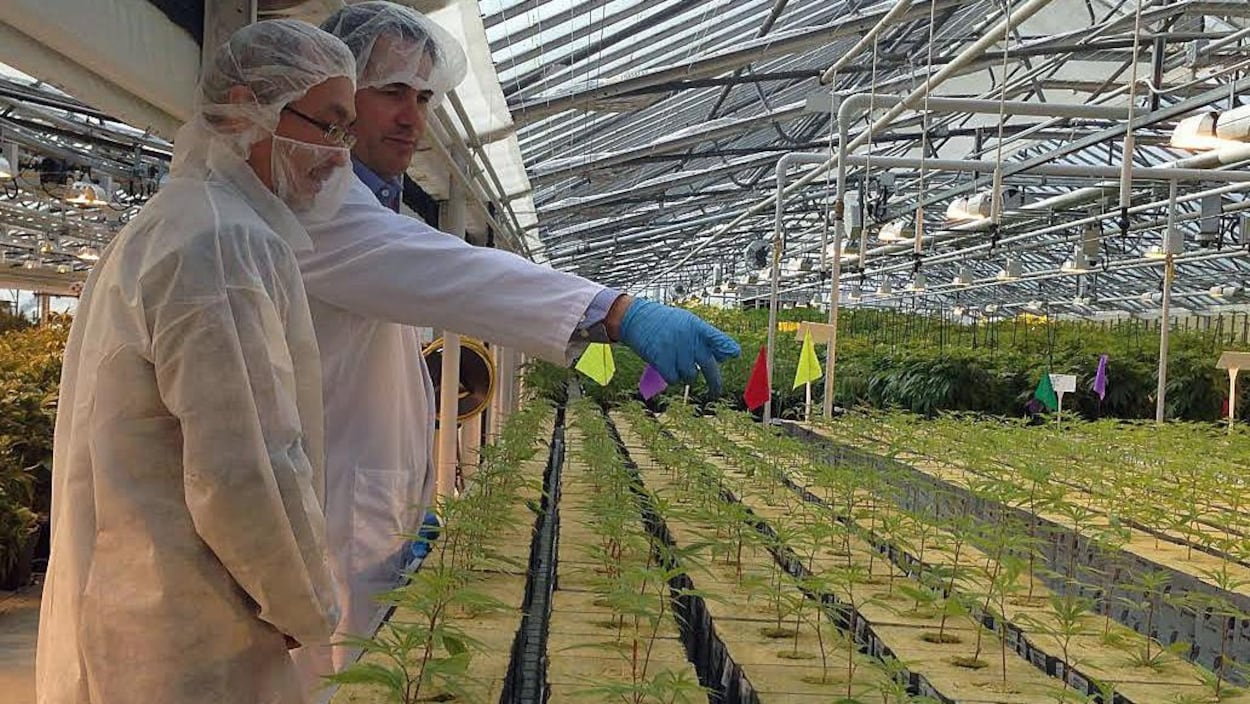 Une serre de production de marijuana