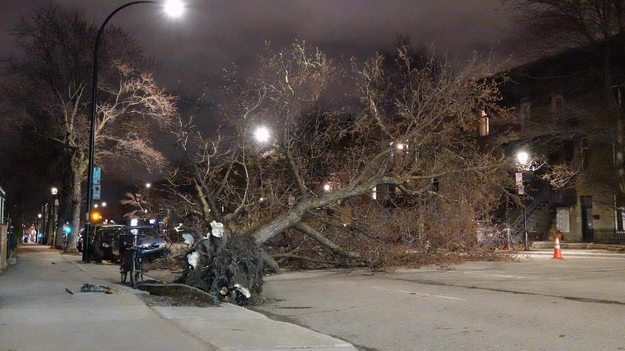 Un arbre déraciné est au milieu de la rue Saint-Denis, mais il n'a causé aucun dommage.