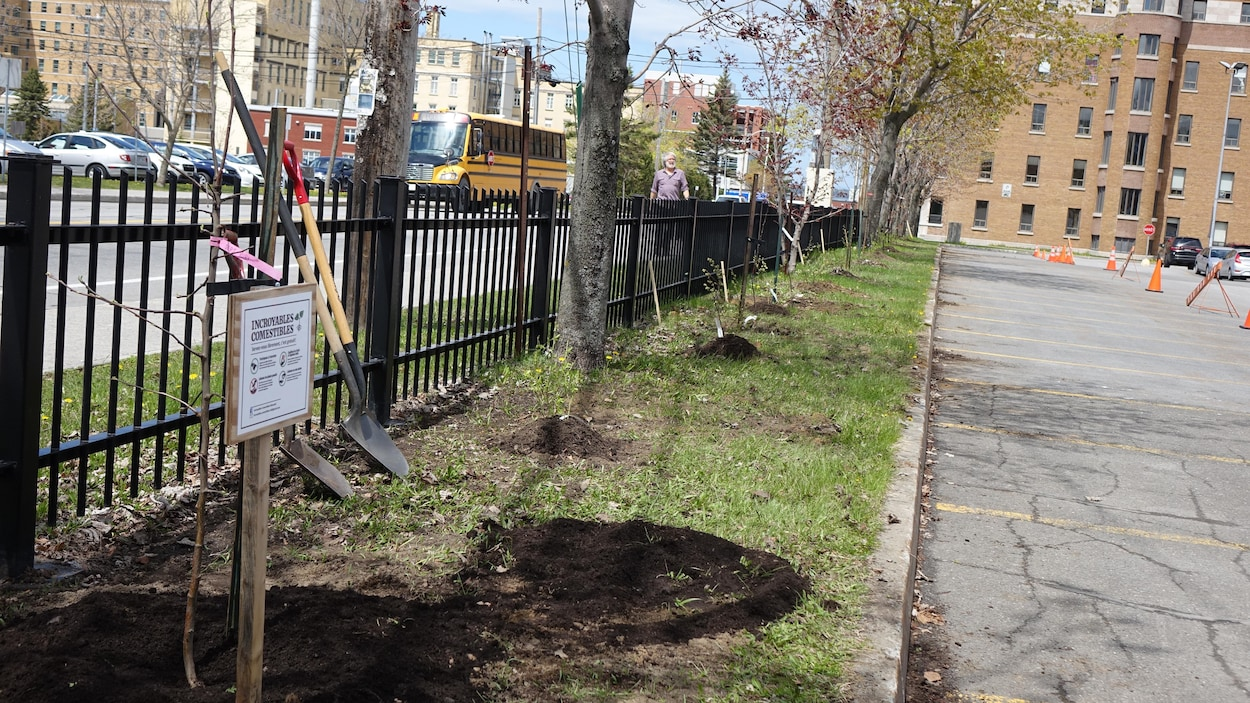 60 arbres et arbustes fruitiers ont été plantés à l'angle des rues Évêché Ouest et Saint-Louis.