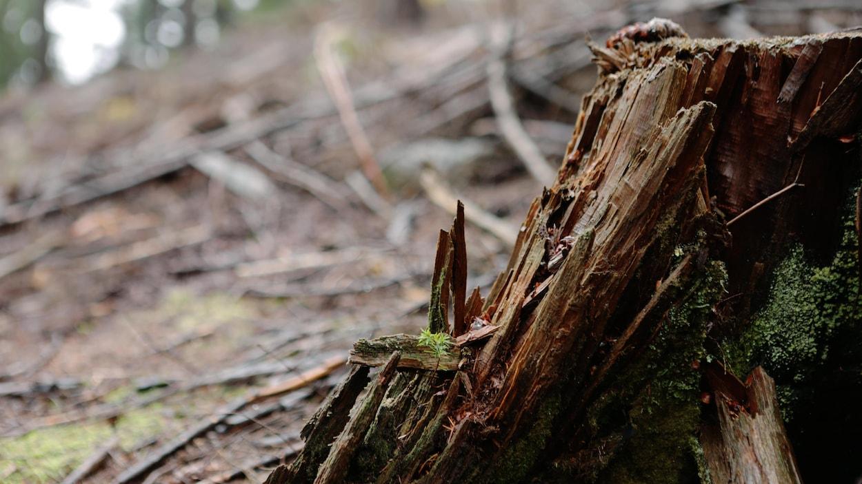 Un arbre coupé dans une forêt.