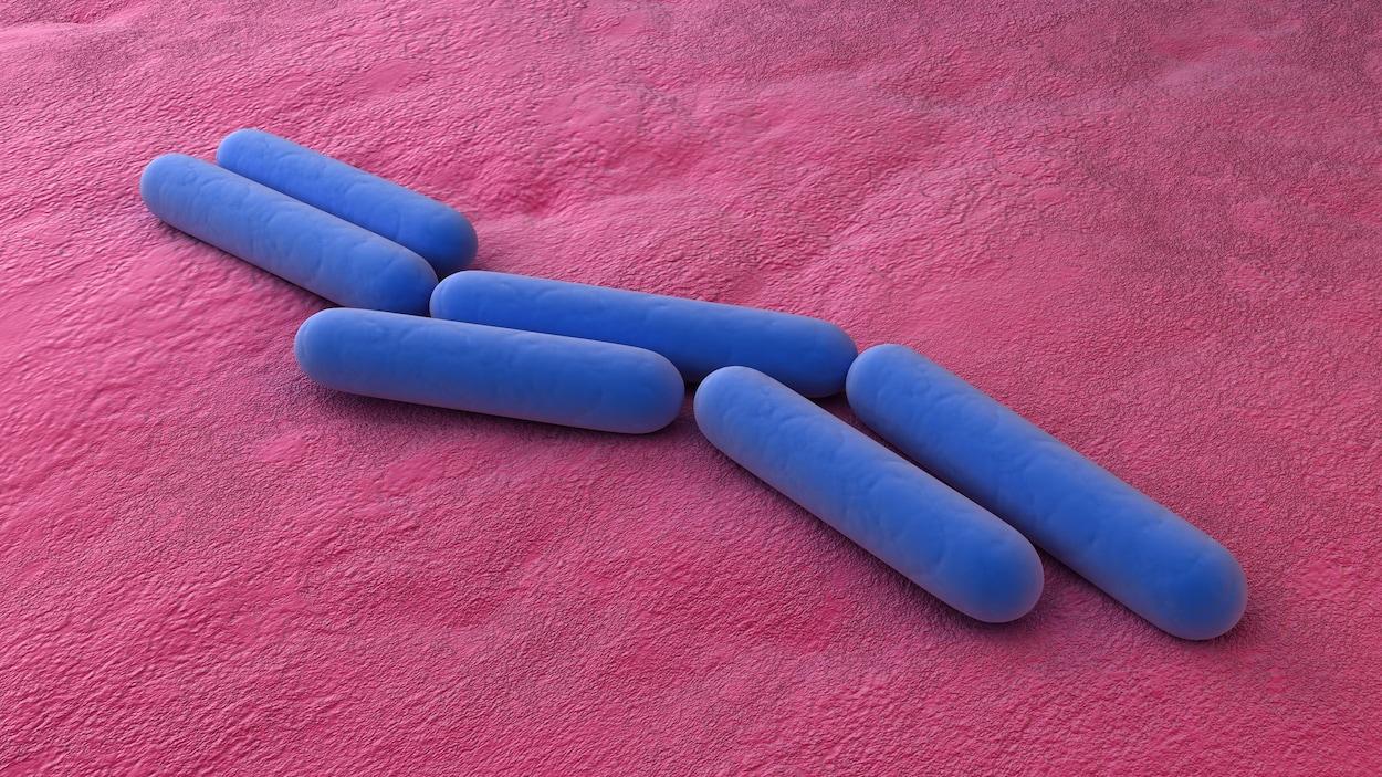 On voit des bactéries de type bacille, en gros plan.