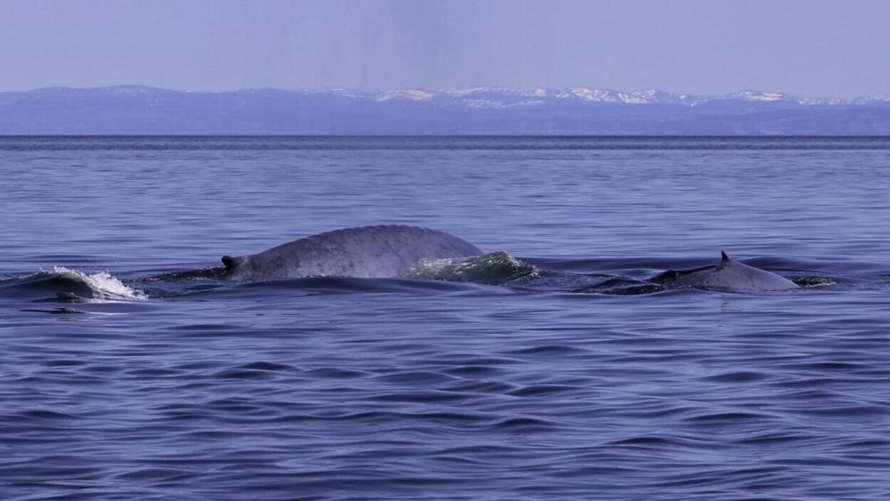 Une baleine bleue et son baleineau observés dans le Saint-Laurent ce printemps.