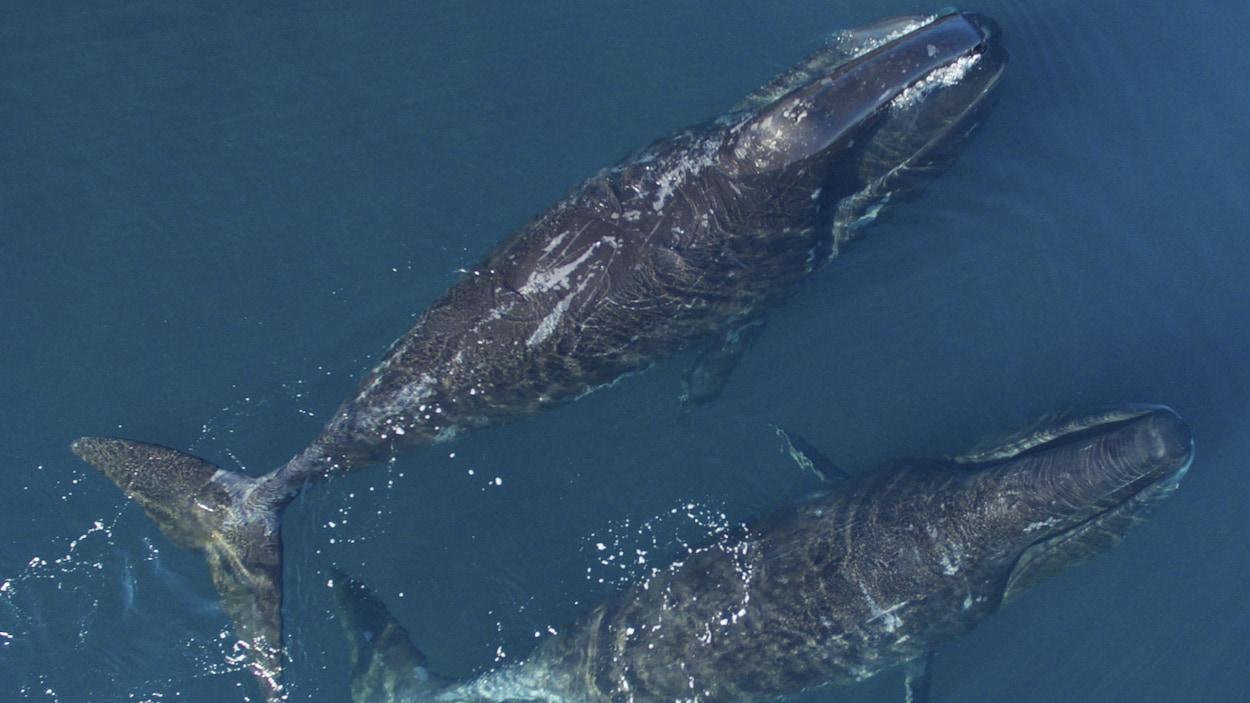Deux baleines boréales nageant vues d'en haut
