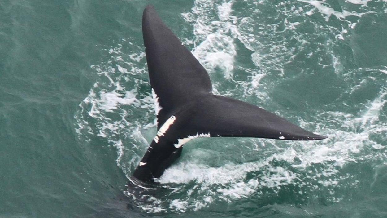 La queue d'une baleine noire.