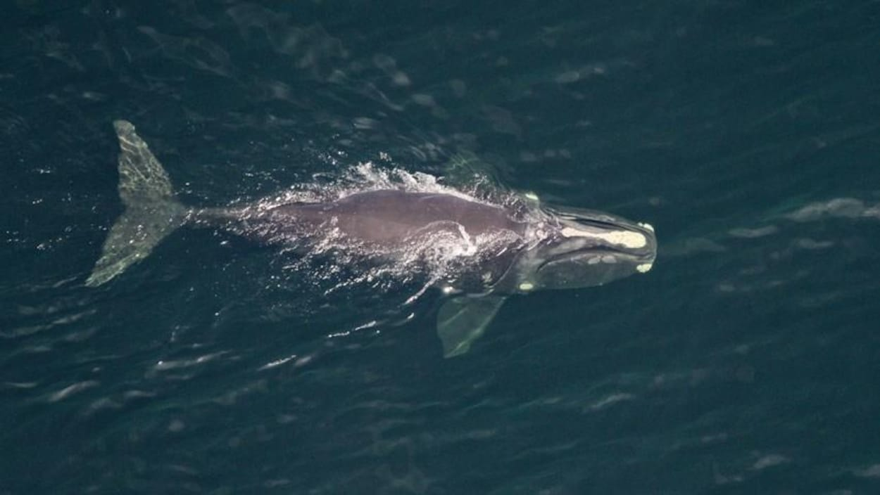 La baleine nage à la surface de la mer.
