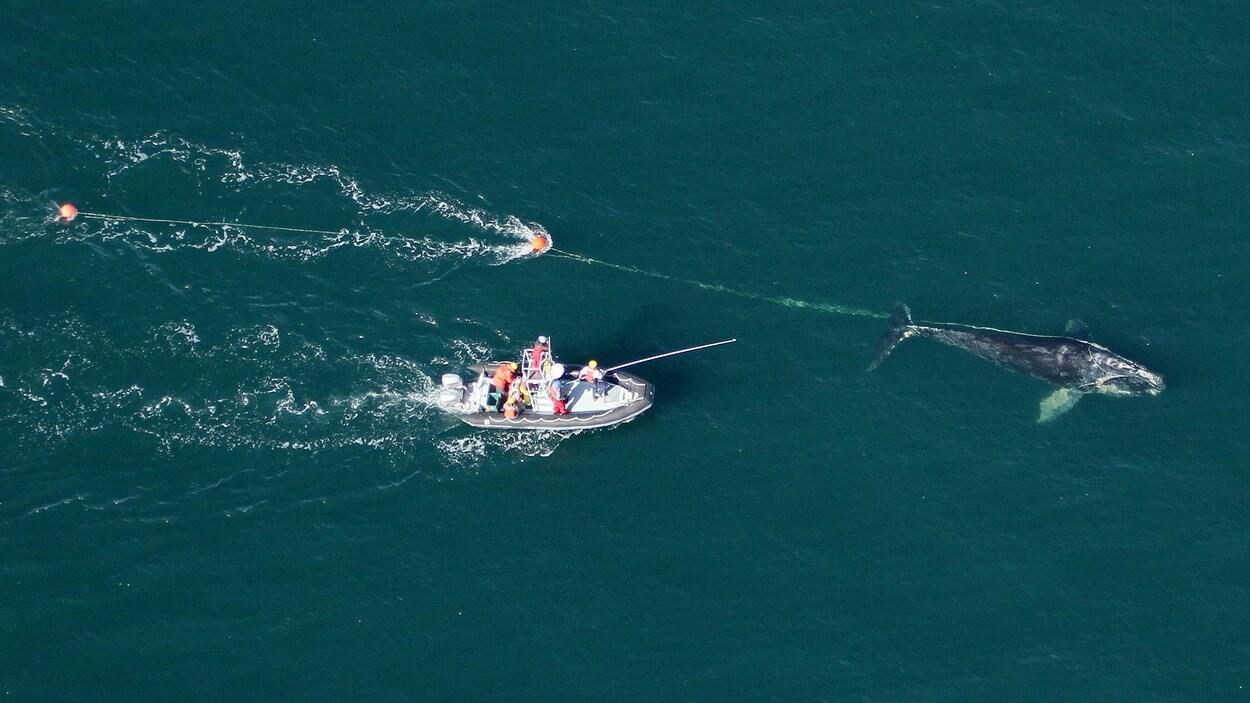 Des secouristes sur un bateau à la poursuite d'une baleine qui traîne un filet de pêche et une bouée.