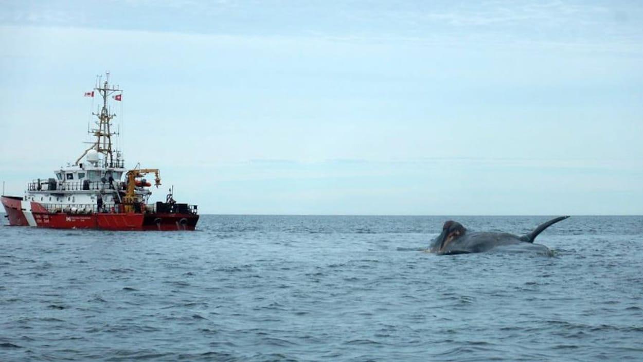 L'une des carcasses de baleines noires, rejointe par un navire de la Garde côtière canadienne