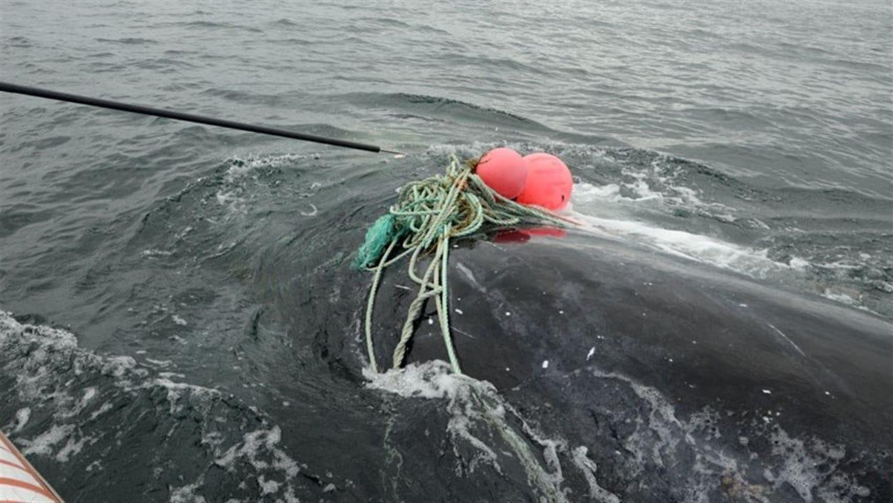 Une baleine noire empêtrée dans un lourd cordage.