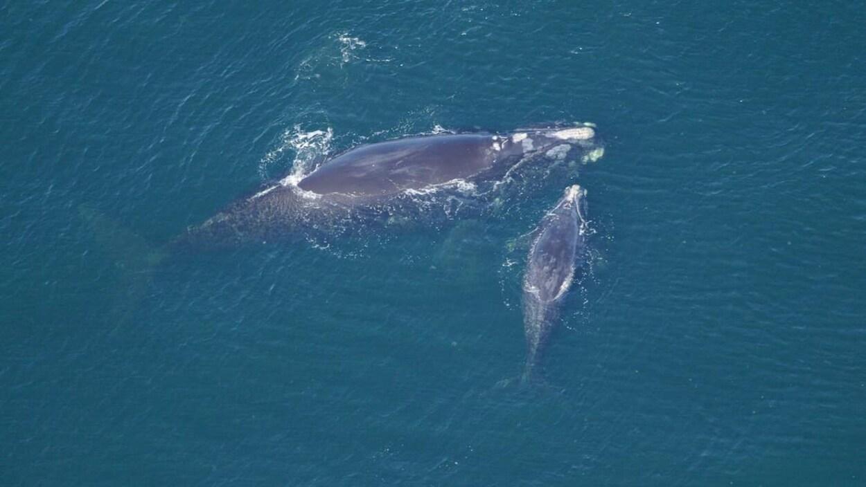 Une baleine noire nage avec son baleineau.