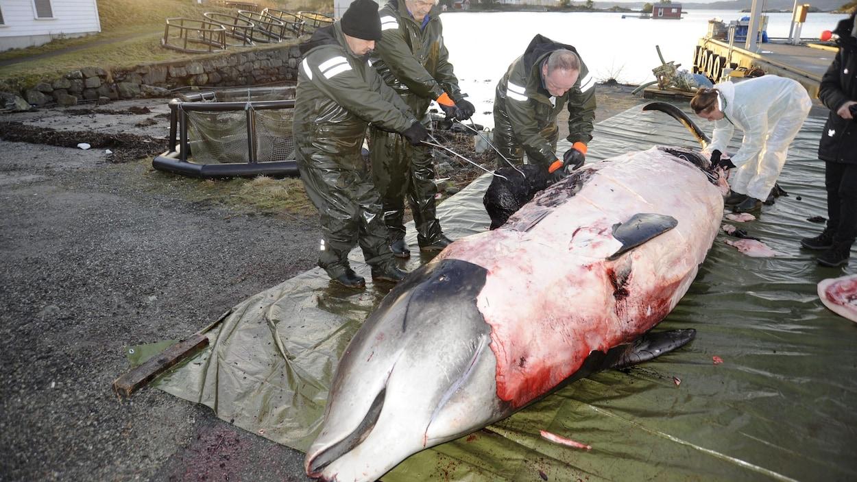 L'estomac de cette baleine à bec contenait 30 sacs de plastique.