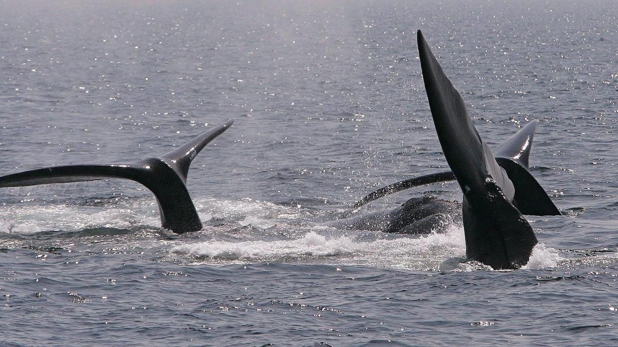 Des baleines noires de l'Atlantique Nord dans la baie de Cape Cod le 10 avril 2008.