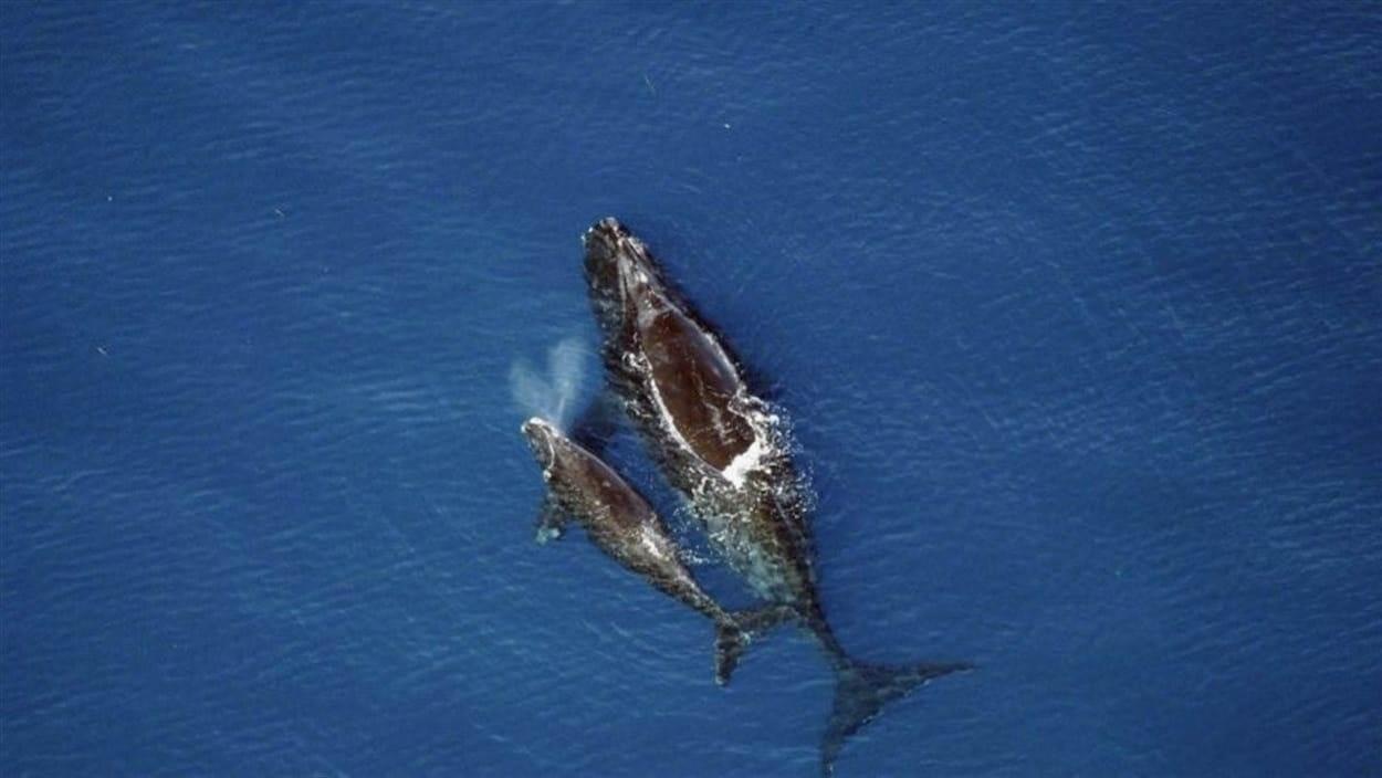 Deux baleines noires dans l'eau.