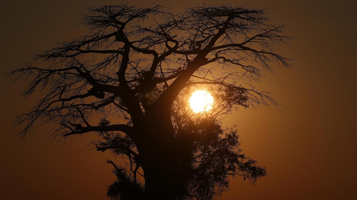 Mort sans précédent des plus vieux baobabs d'Afrique