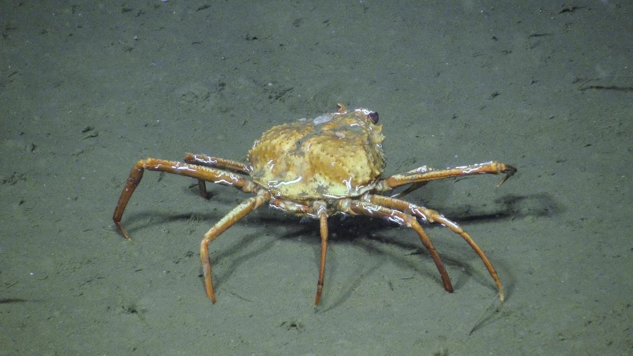 Un crabe se trouve sur le fond de l'océan, un fond sablonneux.