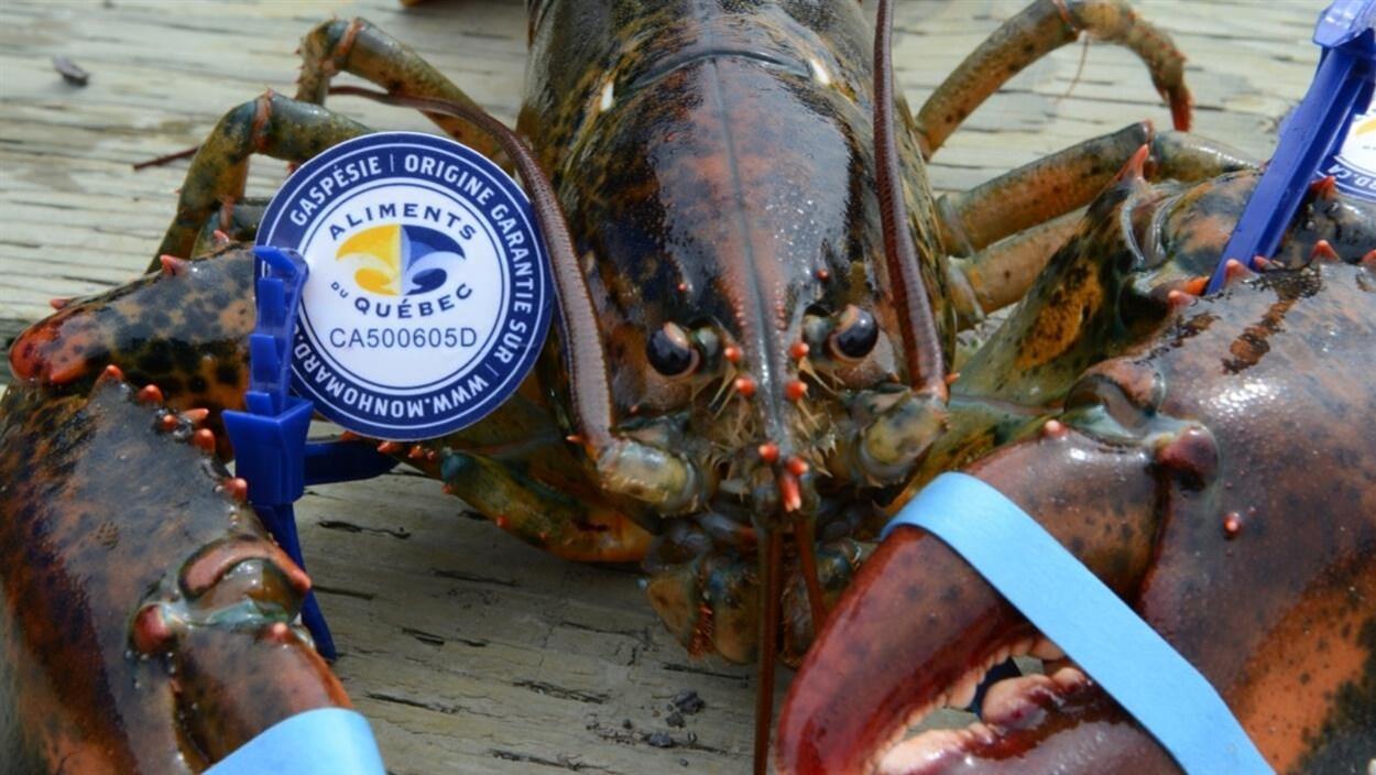 Le homard de la Gaspésie.