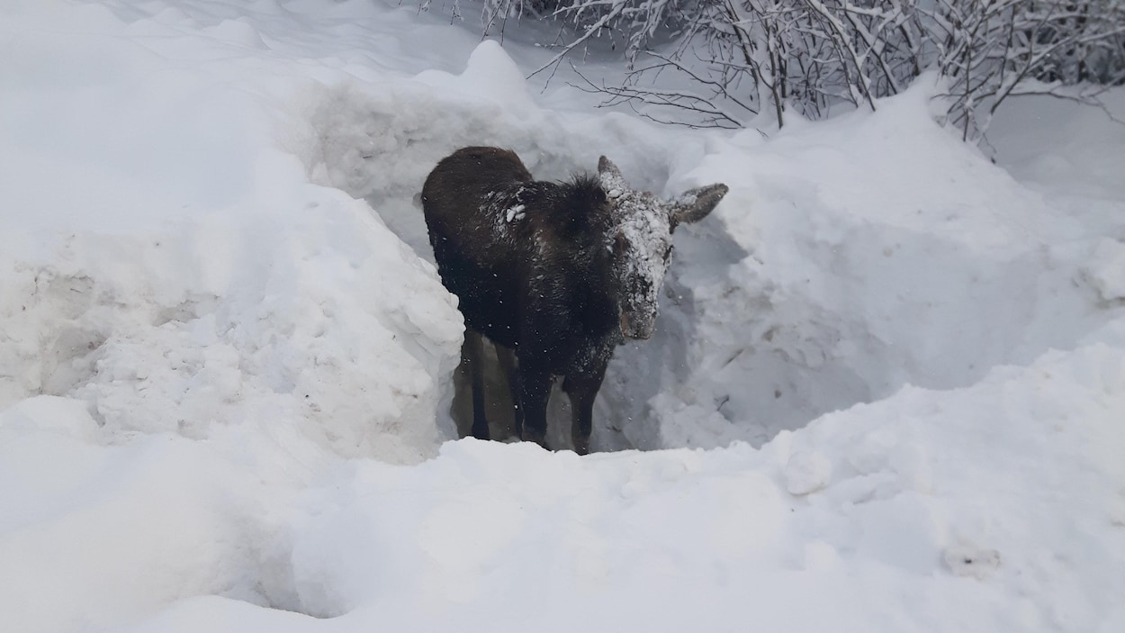 Un jeune orignal dans un trou de neige dans la forêt.