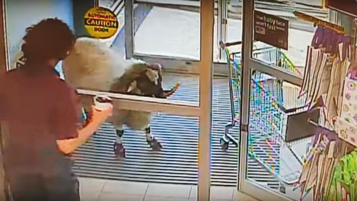 Une employée d'un commerce fait face à un bélier tentant d'entrer dans le magasin.