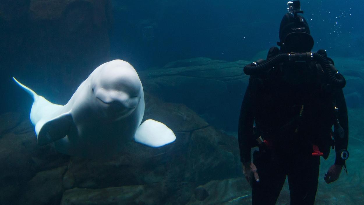 La baleine Qila nage dans un bassin de l'Aquarium de Vancouver en 2015.