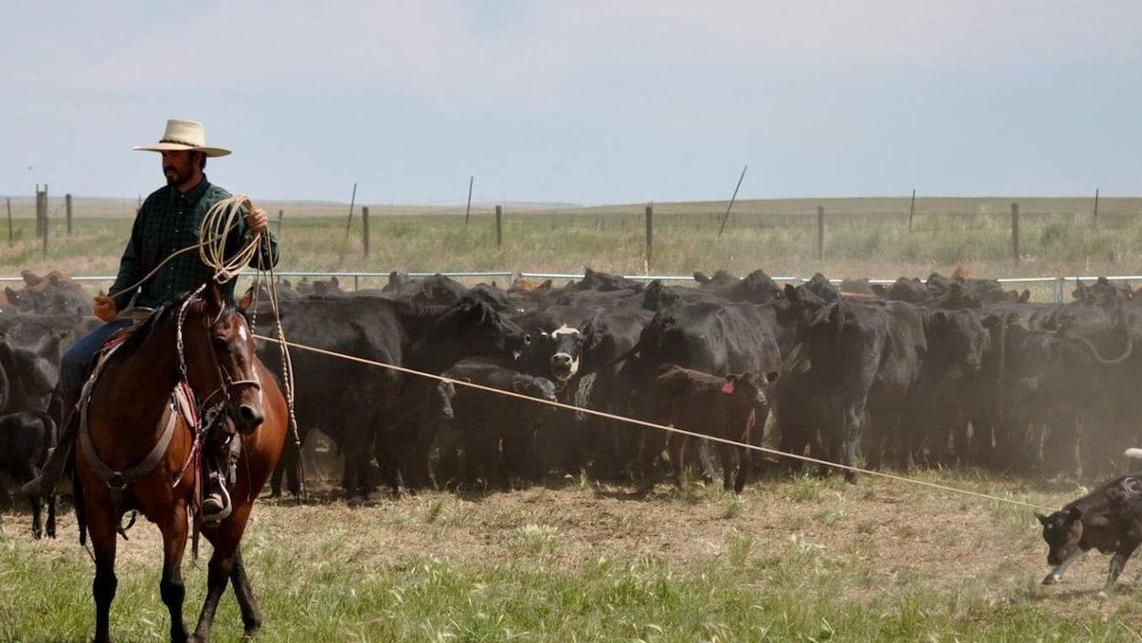 Ben Tyner, sur un cheval, prend au lasso un jeune bovin entouré par un troupeau.