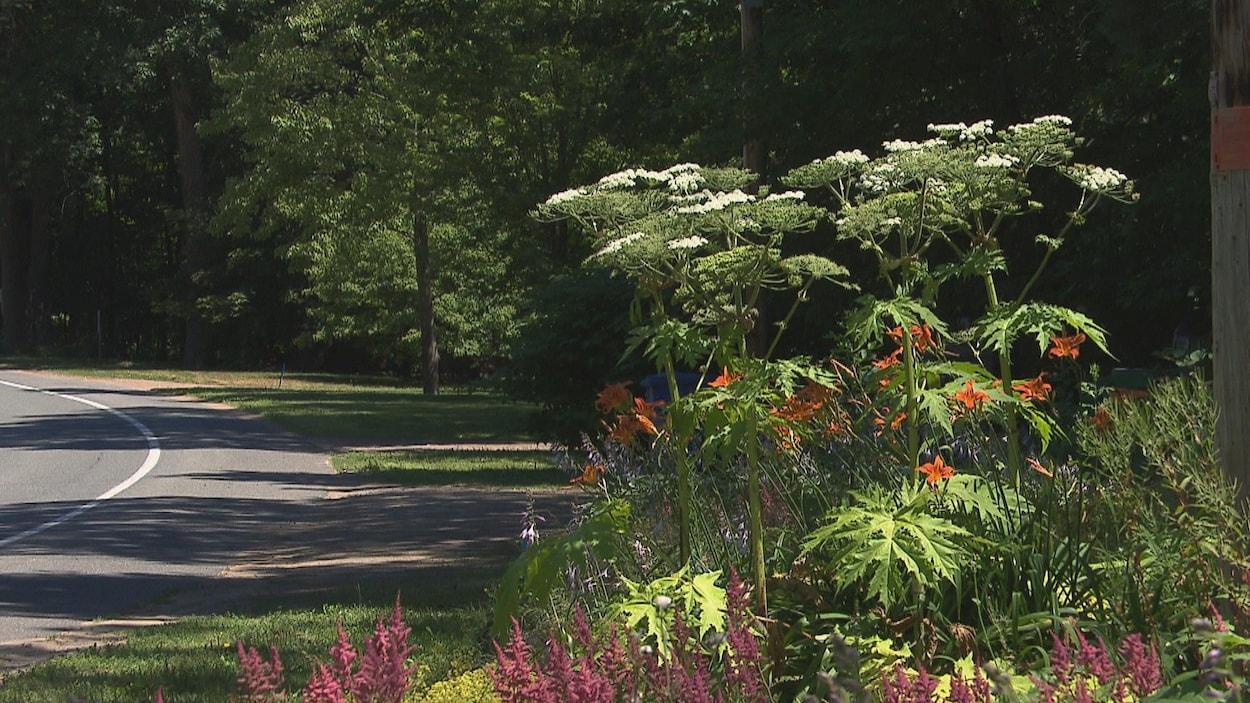 Une plante de grande taille, avec des fleures blanches, le long d'un chemin.