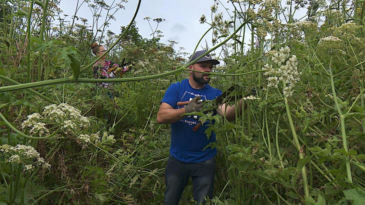 Un homme coupe des plants de berce spondyle plus hauts que lui avec un séquateur.
