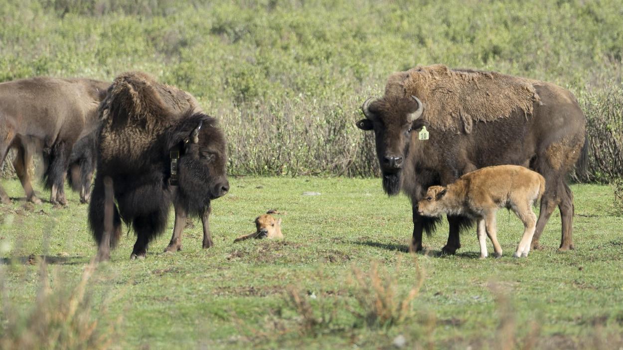 Deux bisons près de deux bisonneaux.