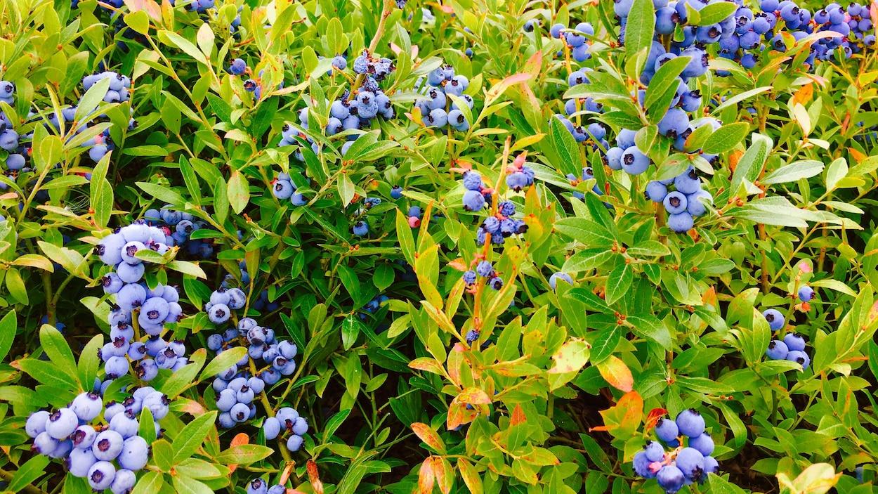 Des plants de bleuets