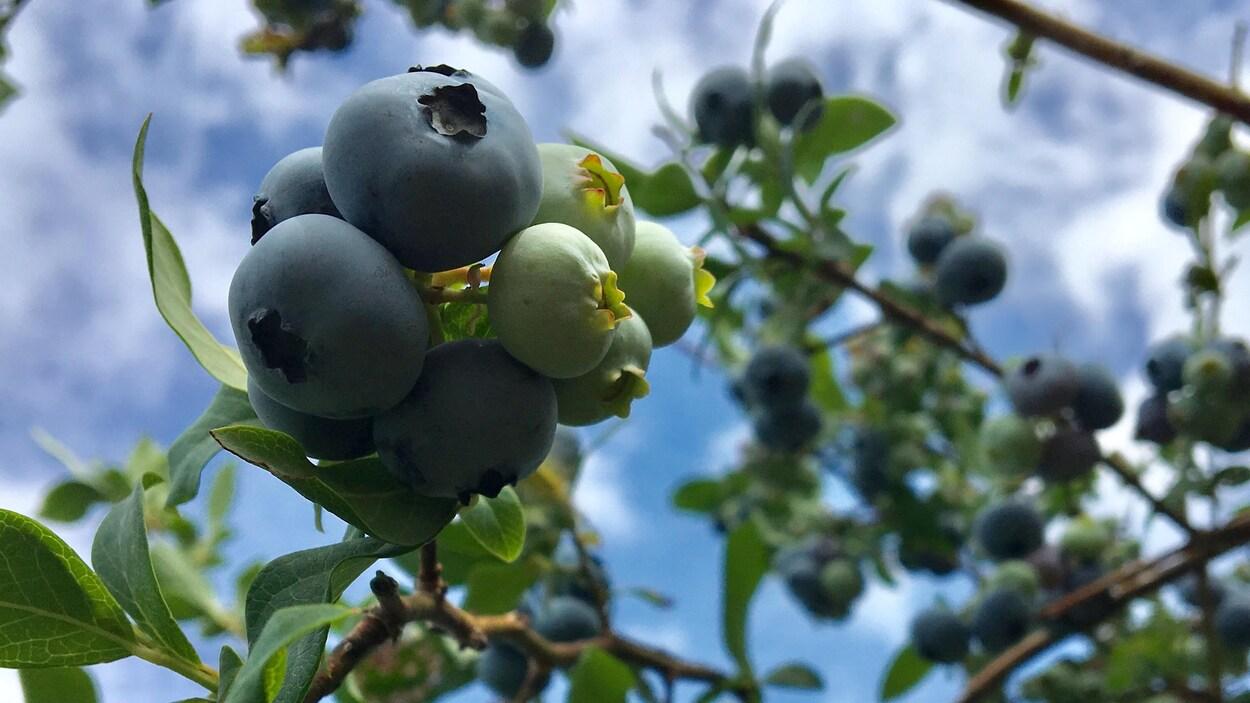 Des bleuets se trouvent toujours sur des branches.