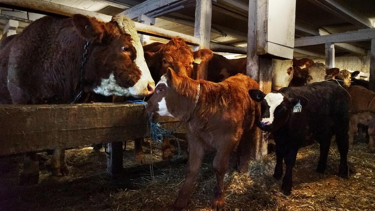 Les producteurs de bovins du Québec souhaitent augmenter leur production.