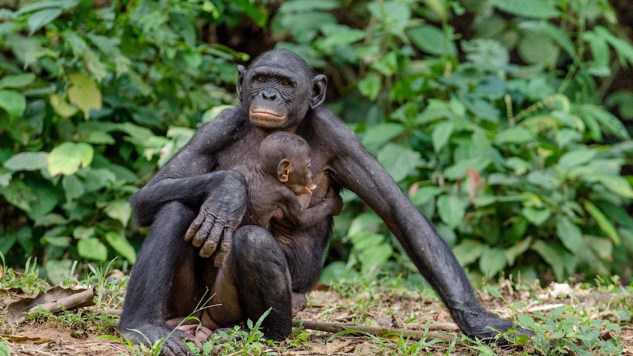Une femelle bonobo et son petit.