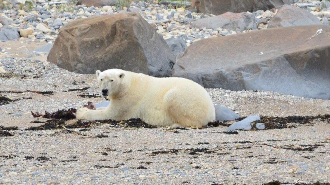 Un ours polaire allongé avec une proie entre ses griffes.