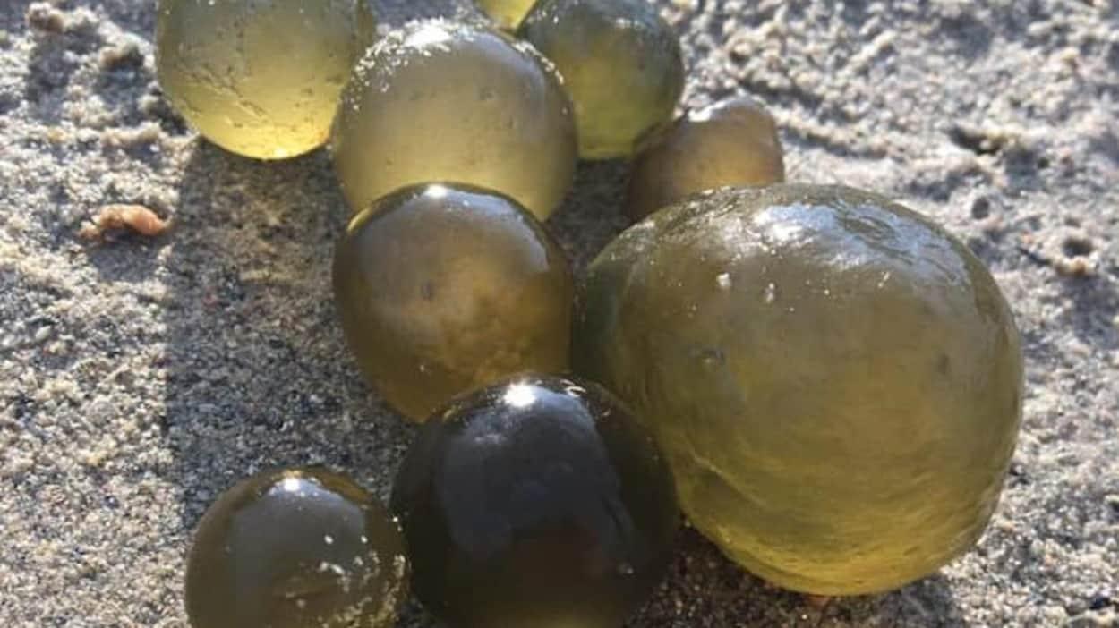 Des billes d'algues verdâtres translucides sur la plage.
