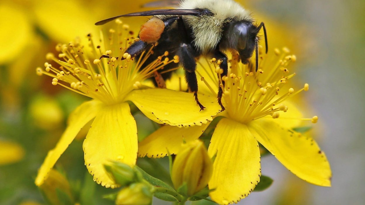 In this July 8, 2015 photo a bumblebee gathers nectar on a wildflower in Appleton, Maine. Maine scientists say the state needs to take a broad census of its bumblebees to ensure the security of its beloved blueberry and cranberry crops, and the state is enlisting its residents to make it possible. (AP Photo/Robert F. Bukaty)