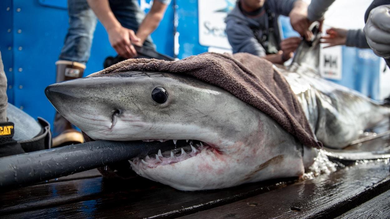 Le requin Brunswick sur le pont d'un bateau lorsque l'organisation Ocearch lui a installé sa puce.