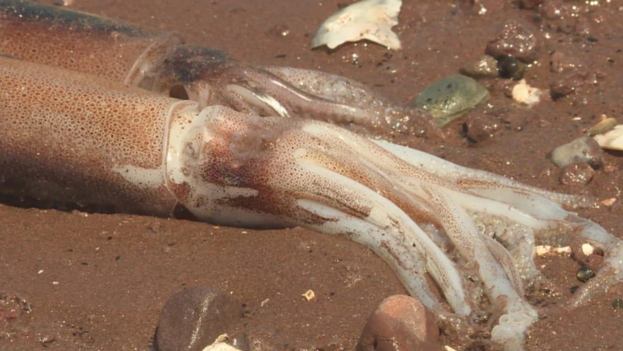 Deux calmars gisant sur la plage.