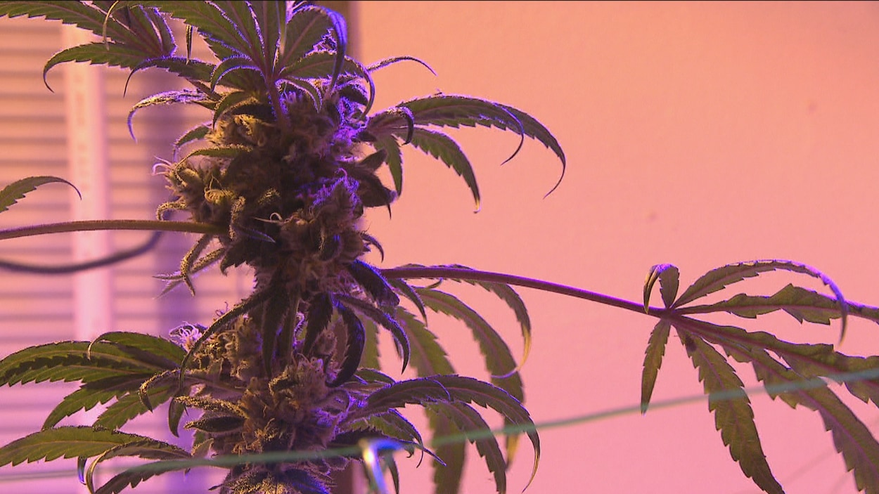 Un plant de cannabis cultivé dans une maison