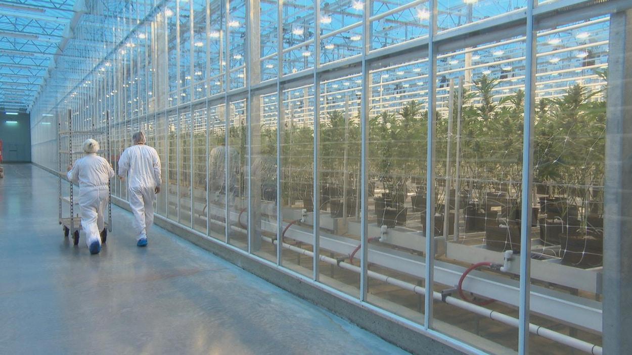 Deux personnes en combinaison blanche marche le long d'une serre intérieure où pousse du cannabis.