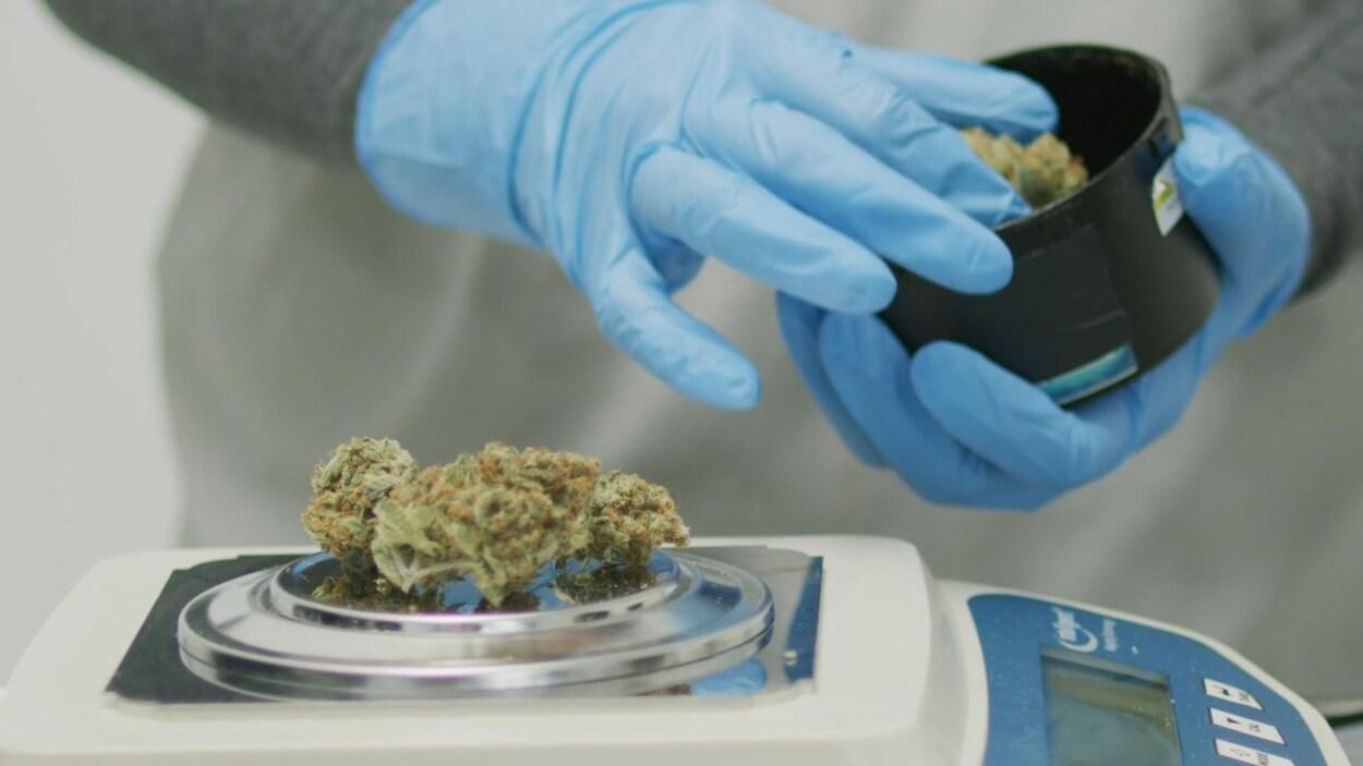 Une tête séchée d'un plant de cannais repose sur une balance numérique. La main gantée d'un technicien de laboratoire dépose un échantillon dans un contenant noir.