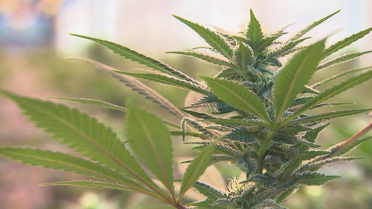 Un plan de cannabis, dans une serre visible en flou.