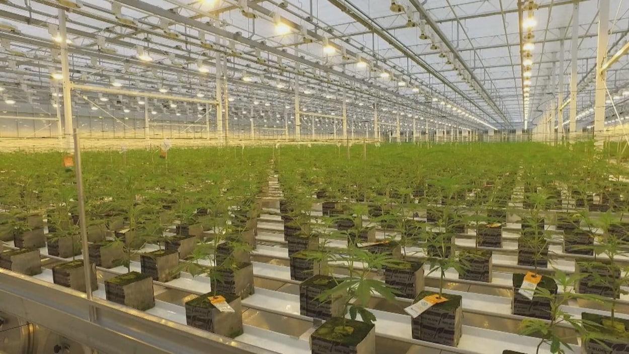Plan large de l'intérieur d'un hangar fermé avec des plants de cannabis.