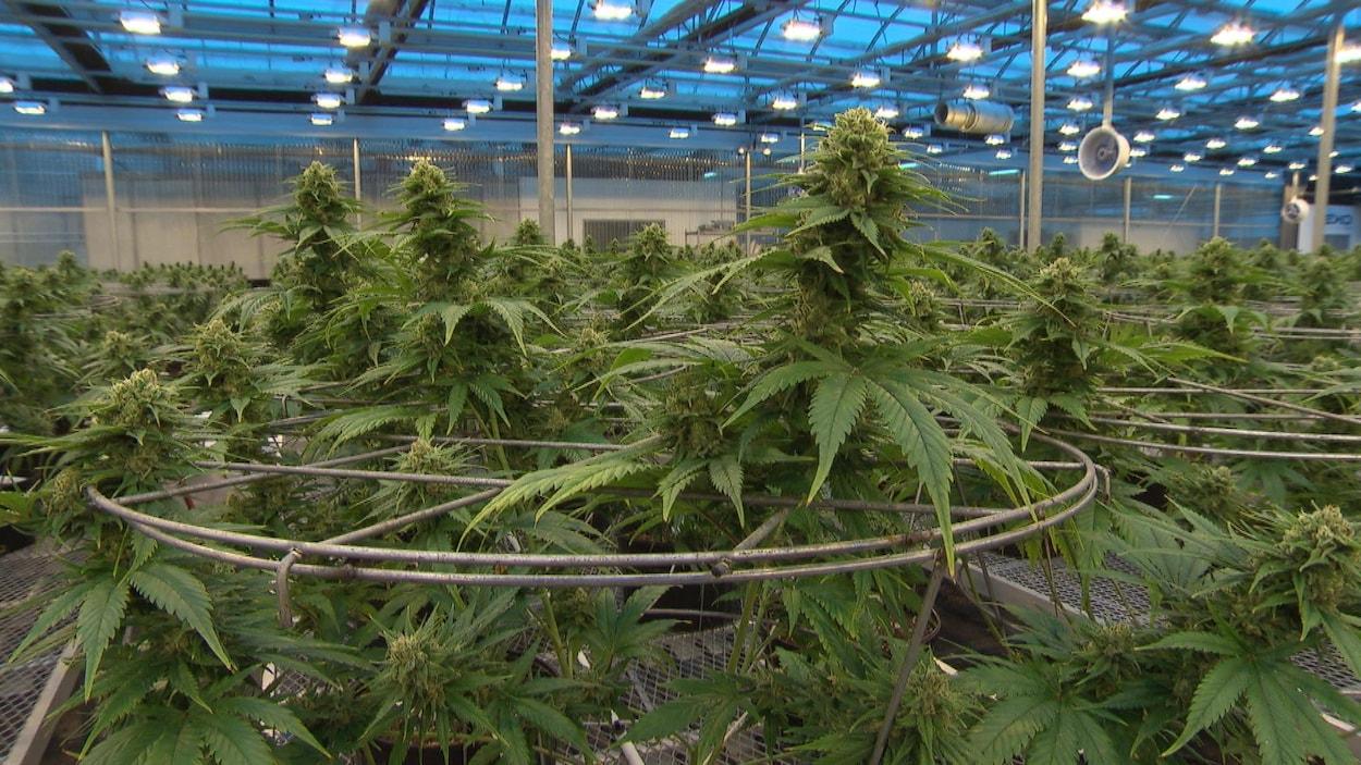 Gros plan sur un plant de cannabis.
