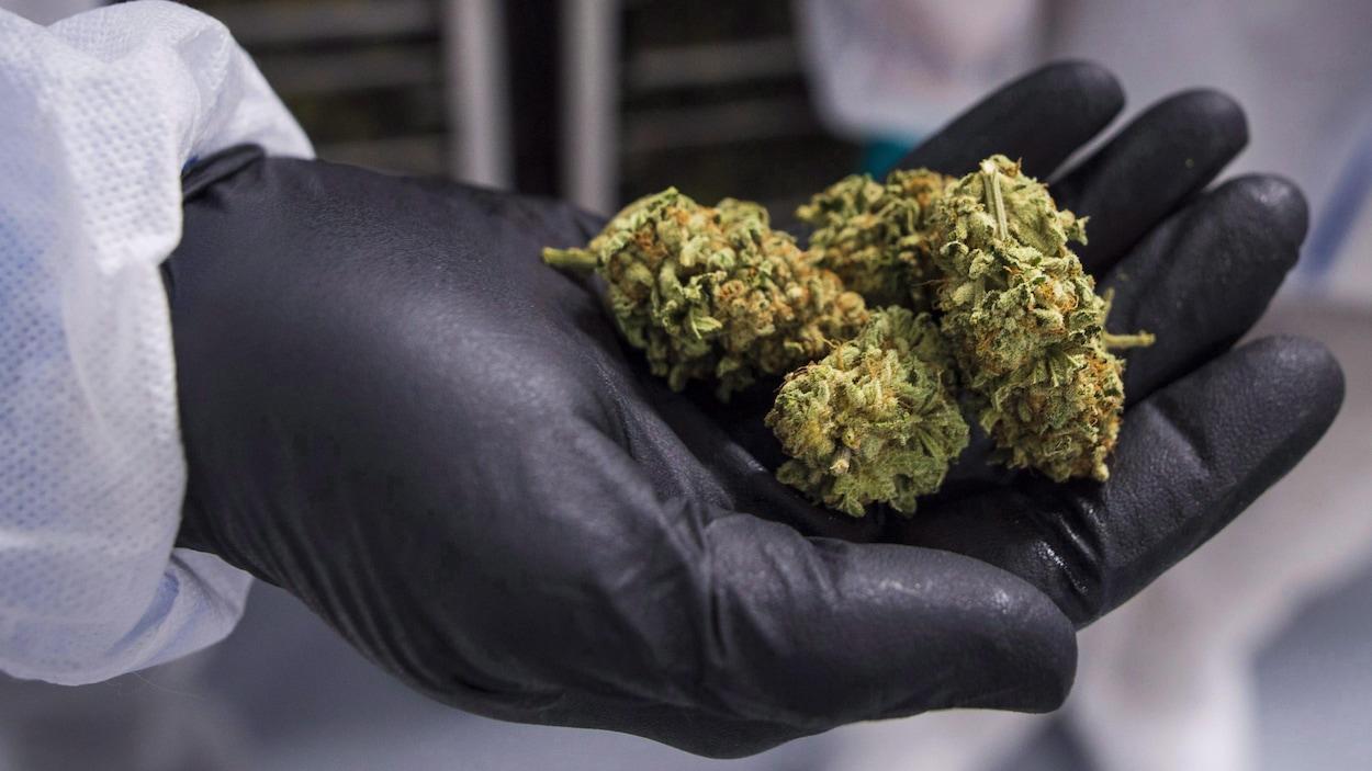 Photo d'une main couverte d'un gant noir qui tient du cannabis.