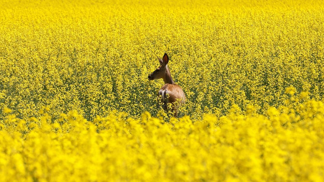 Un cerf dans un champ de canola.