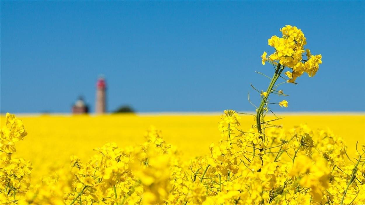Un champ de canola en fleurs, avec une ferme au loin.