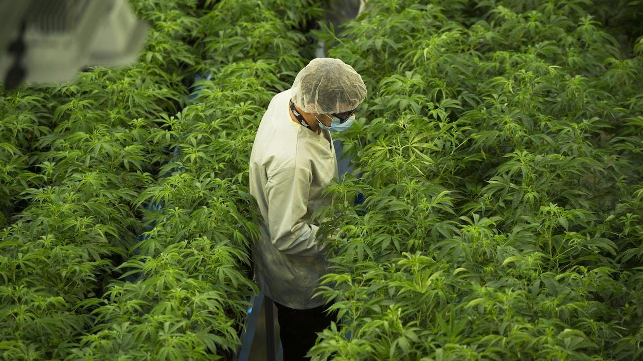 Un homme travaille dans une usine de cannabis. Il se promène entre les rangées de plants.
