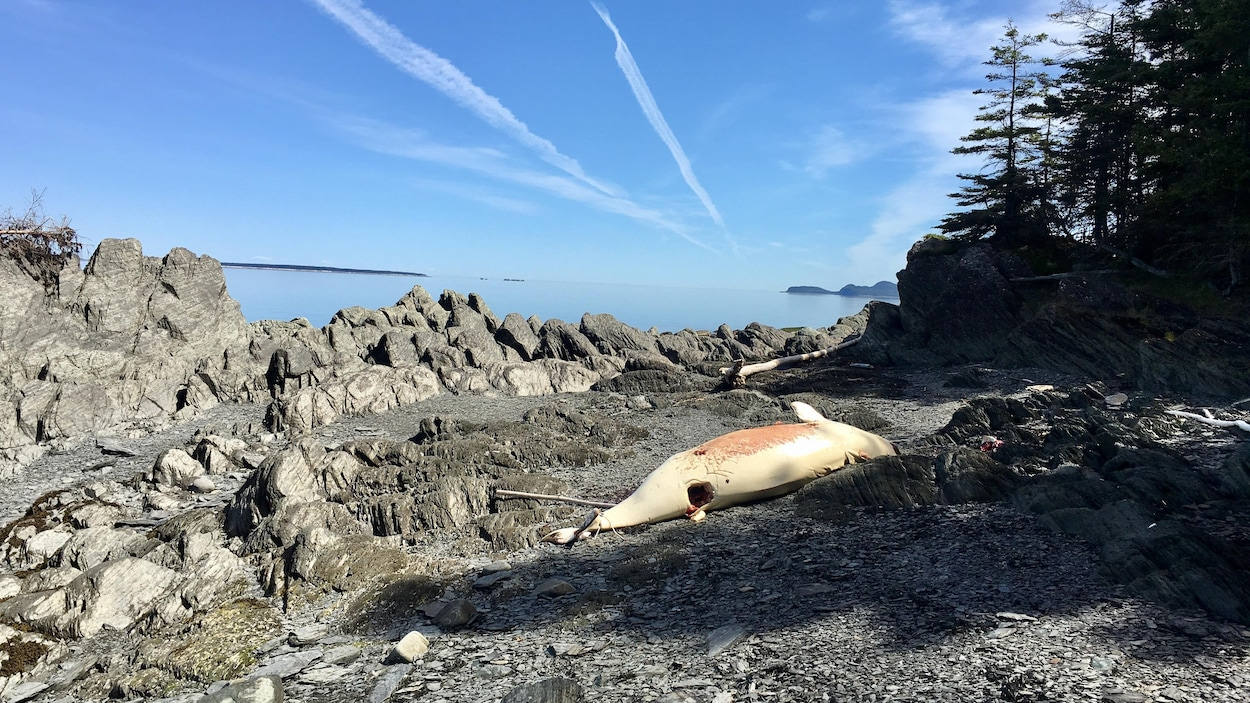 Une carcasse du béluga à Saint-Fabien-sur-mer