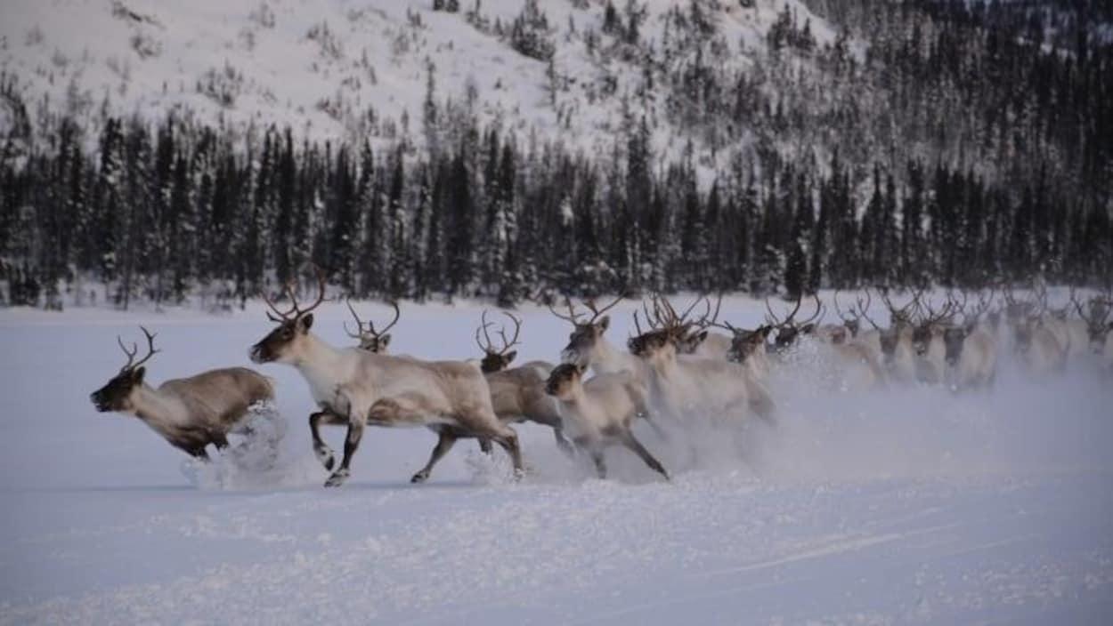 Un troupeau de caribou boréal qui court dans neige.